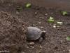 Eine Baby-Schildkröte in der Darwin-Station