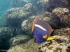 Schnorcheln: King Angelfish