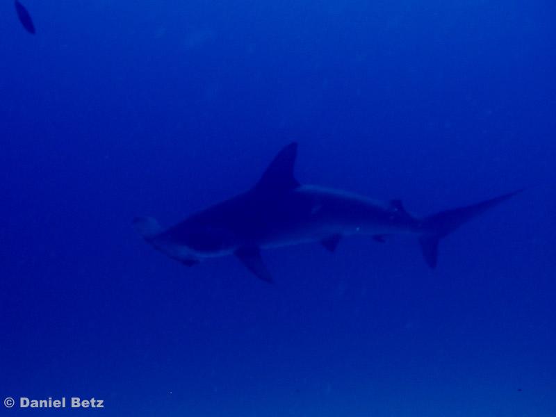 hammerhead shark, einer von ziemlich vielen
