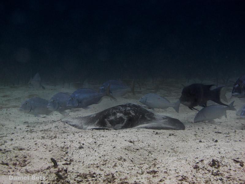bumphaed hogfish, galapagos porgy, peruvian torpedo ray