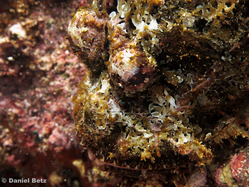 stone scorpion fish