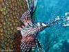 ueberall gibts den Lionfish